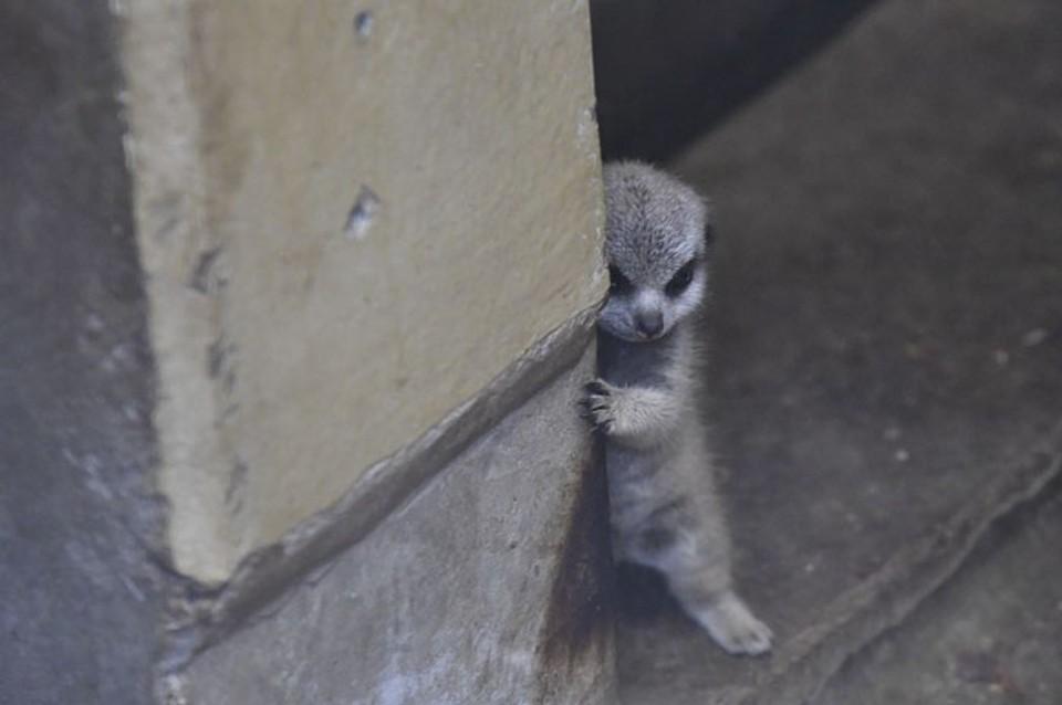 Malá, hanblivá surikata