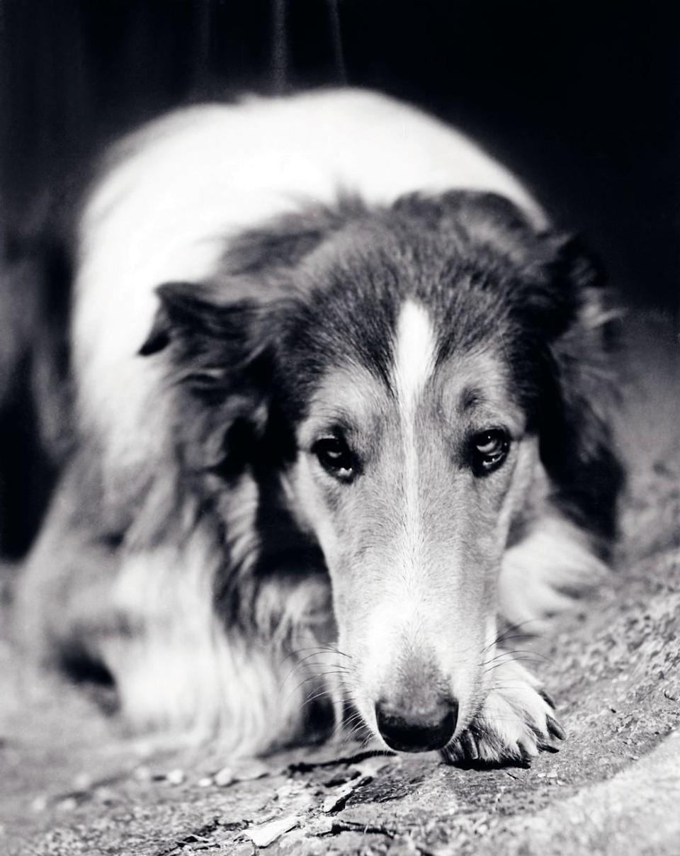 Lassie - kólia, Lassie sa vracia, 1943