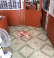 Malý corgi spôsobil majiteľovi mini infarkt