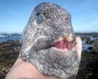 Úhor, ktorý skonzumoval červené morské ježovky a jeho zuby majú tvar a sfarbenie ružového kremeňa
