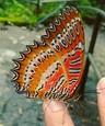 Motýľ, ktorý má na svojich krídlach zobrazenú kričiacu tvár