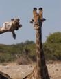 Fotobombastická žirafa